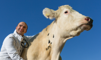 Zoetis colleague with beef cow in France